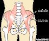 大腰筋と腸骨筋の構造